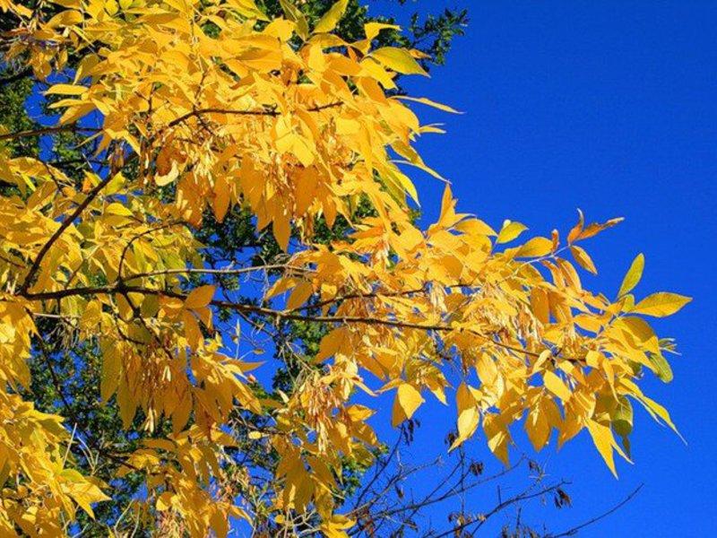 Ясень обыкновенный: свойства дерева, высота, посадка и описание