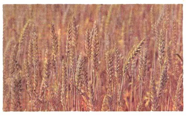 6 декоративных злаков, которые можно вырастить из семян