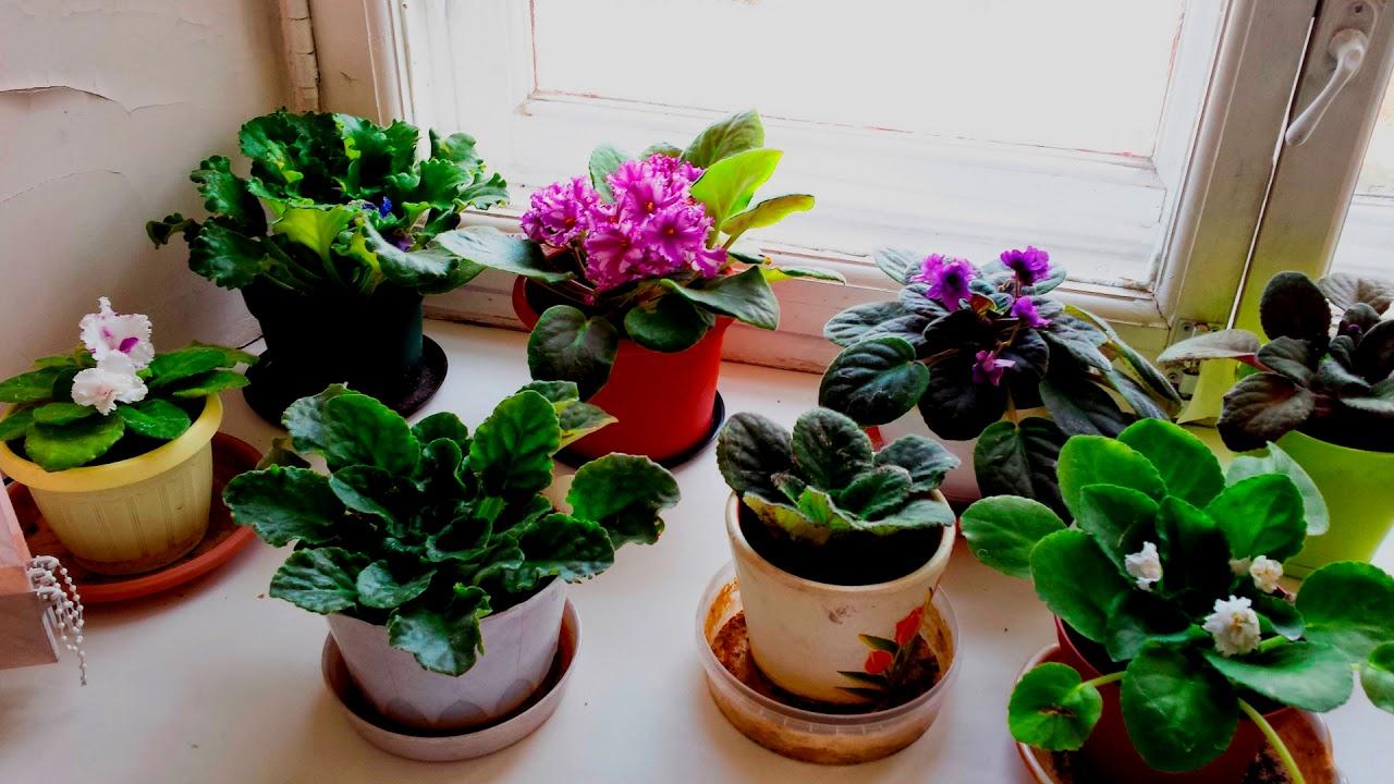 Как ухаживать за фиалкой, чтобы цвела обильно и не было болезней, а также секреты, какие и как правильно удалять листы у комнатного растения