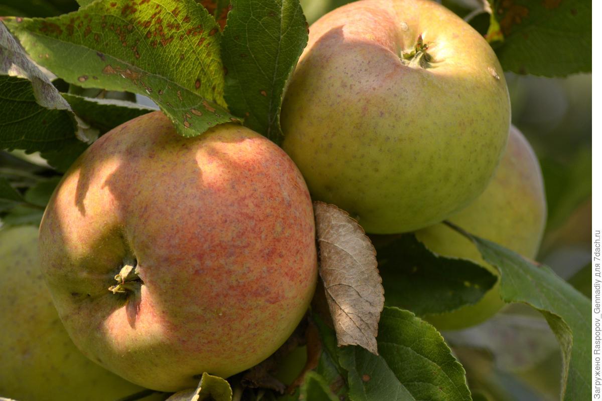 8 зимних сортов яблок: лучшие яблони морозостойкие