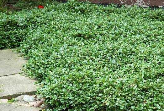 Кизильник — главное украшение сада